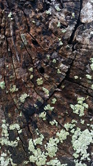 Lichen (Jnzl's Public Domain Photos) Tags: tree texture beach nature crust coast singapore bark trunk lichen changi publicdomain