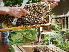 Queen right (alansurfin) Tags: abejas bees queen regina honeycomb abeilles beekeeping apicultura bienen honeybees beekeeper apismellifera abejareina aperegina