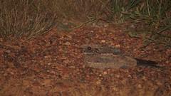 Spotted Nightjar (ntwildlife) Tags: bird nt darwin spotted northern territory nightjar