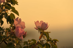 Rosa canina (kalbasz) Tags: sunset flower nature hungary outdoor rosa canina