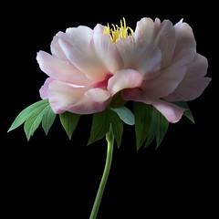 Peony P (Pixel Fusion) Tags: flower macro nature flora nikon peony d600