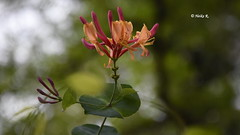 Blossom pink/orange (heikecita) Tags: blossom blte pflanze nautr natur nature blume outdoor pink orange