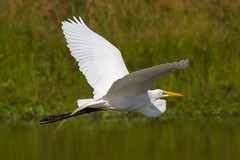 great egret 6-26-2016-70 (Scott Alan McClurg) Tags: life blue wild summer portrait sky sun white bird nature water animal fly flying back pond backyard glow wildlife flight bluesky neighborhood landing ardea eat wetlands land algae gliding flapping eatting flap stalk stalking greategret naturephotography glide ardeidae aalba