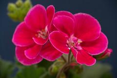 Flower   (nak.viognier) Tags: flower   powershotg3x