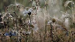 My Fairyland (ursulamller900) Tags: droplets daisy morningdew orchardmeadow