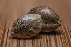 Hemp seed (Brian Tomlinson) Tags: hemp seed hempseed