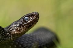 Vipera berus (Tomas_K) Tags: black austria snake common viper adder vipera melanistic berus obecn obecna zmije