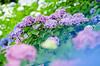 (@_chan) Tags: hydrangea ajisai 紫陽花 あじさい 権現堂