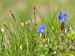 DSCN0350 (keepps) Tags: mountains alps flower schweiz switzerland suisse wildflower vaud rochersdenaye