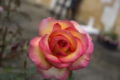 Rose (Haxtorm) Tags: france flower nature fleur dew couleur morningdew rose