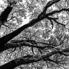 North Blvd Oak Trees T (Mabry Campbell) Tags: trees blackandwhite usa abstract nature monochrome up vertical landscape photography photo texas chaos photographer unitedstates image branches unitedstatesofamerica fineart houston 1600 hasselblad photograph liveoak april 24mm f80 squarecrop oaktrees fineartphotography 2016 northblvd commercialphotography harriscounty liveoaktrees westuniversity intimatelandscape sec mabrycampbell h5d50c hcd24 april222016 20160422campbellb0001268 abovenorthblvd