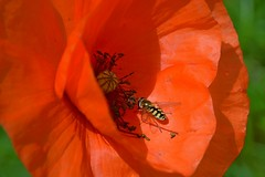 Simply Red (Huubspage) Tags: red flower macro closeup insect nikon poppy rood klaproos bloem 1685