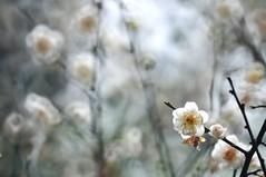 Plum 梅花 (MelindaChan ^..^) Tags: plant flower branch bokeh plum mel melinda macau 澳門 梅花 hbw 盧廉若公園 chanmelmel