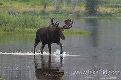 """Moose in Red Eagle Lake • <a style=""""font-size:0.8em;"""" href=""""http://www.flickr.com/photos/63501323@N07/6775230490/"""" target=""""_blank"""">View on Flickr</a>"""
