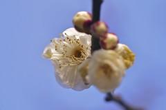 Ume #9 (joka2000) Tags: blue sky white blossom  bud ume  japaneseapricot fantasticflower
