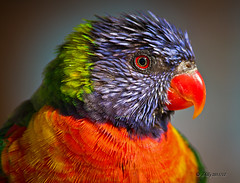 Lorikeet (d-lilly (in & out & away!)) Tags: ngc lorikeets arizonia roostercogburnranch
