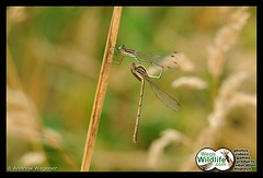 Mating Damselflies (Weg's Wildlife) Tags: dragonfly insects damselflies minibeasts animalsmating andrewwegener