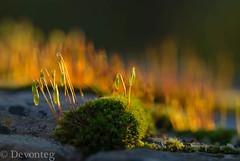 evening light (devonteg) Tags: macro wall nikon handheld backlit february 2012 eveninglight mosses sporophytes d80 nikkor105mmf28gvrmicro