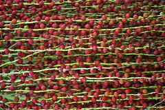 All lined up (Deb Jones1) Tags: red macro nature beauty canon garden palms botanical flora seeds palmseeds flickrduel debjones1