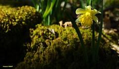 la jonquille  ** Narcissus pseudonarcissus ** (francky25) Tags: macro 50mm la sigma narcissus pseudonarcissus jonquille doubs comt franche alaise