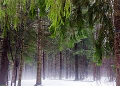Whispering Woods (Boreal Bird) Tags: duluth hartley puremagic whisperingwoods mistymonday fairieswhispering