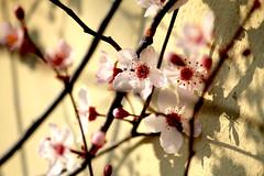 rosa (dariabru) Tags: fioritura