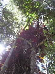 The curse I can't cure on my Red Cedar (Toona ciliata) (imbala) Tags: weed redcedar philodendron australiannative toona meliaceae arfp australianrainforestplants wilsonscreeknsw regeneratingrainforest toonaciliata nswrfp qrfp