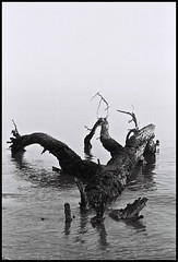 °the melody of a fallen tree (alessandro bonetto) Tags: blackandwhite bw italy tree film rollei analog canon vintage analogphotography bibione biancoenero pellicola canoneos620 canonef5018ii analogicait rolleirpx100