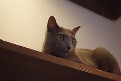 静岡の猫カフェ「fairebeeau」の猫ちゃんの写真