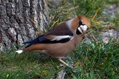 """Picogordo """"Coccothraustes coccothraustes"""" (Antonio Sales Martinez) Tags: coccothraustes thewonderfulworldofbirds picogordo birdperfect"""