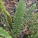 California shield fern - Photo (c) John Game, some rights reserved (CC BY-NC-SA)