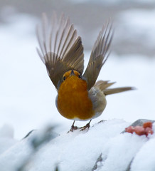 Robin fly away (malkv) Tags: snow bird nature robin fly ngc photographers unite natures winterbeauty vigilant greatphotographers sweetfreedom flickraward clickcamera coppercloudsilvernsun mygearandme mygearandmepremium mygearandmebronze mygearandmesilver mygearandmegold blinkagain greaterphotographers greatestphotographers bestofblinkwinners blinkagainsuperstars blinksuperstar rememberthatmomentlevel4 rememberthatmomentlevel1 magicmomentsinyourlife rememberthatmomentlevel2 rememberthatmomentlevel3 me2youphotographylevel1 vigilantphotographersunite vpu2 vpu3 vpu4 vpu5 vpu6 malkv vpu7 vpu8