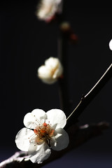 Japanese Apricot (Sigmania) Tags: flower sigma apricot merrill sd1 feveon sd1m