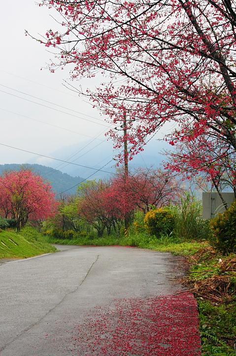 玉蘭茶園櫻花0023