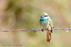 Bee eater :  - (Abu-Khalifa) Tags: bird bee eater