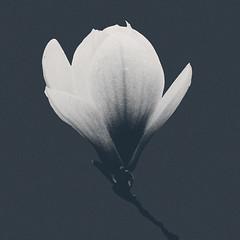 I'm Black. I'm White. Yeah Yeah Yeah. (Explored) (Linh H. Nguyen) Tags: flower floral monochrome silhouette closeup contrast square soft pattern grain creative minimal petal simplicity simple explored rokkorx5014 nex3 skancheli