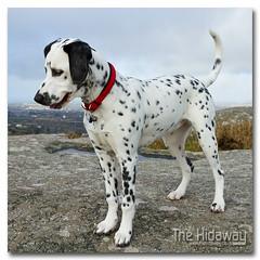 Jemima - Explore #151  27/02/12 (Simon Bone Photography) Tags: blackandwhite dog pet girl spots spotty dalmatian jemima k9 canoneos7d canonef24105mmlf4