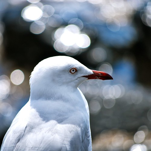Gull Close Up