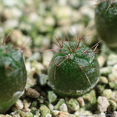 Frailea asteroides Seedling (binaryriot) Tags: cactus seedling asteroides frailea