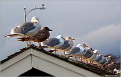 Seagulls waiting for something???? (West County Camera) Tags: seagulls wow1 wow2 wow4 mygearandme mygearandmepremium mygearandmebronze mygearandmesilver mygearandmegold mygearandmeplatinum allofnatureswildlifelevel1