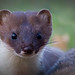 Stoat  NottsWT (cpt Geoff Curtis)