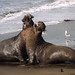 Elephant Seals_Adult males fighting