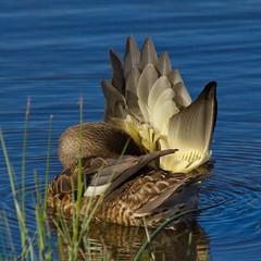 Gadwall, female, preening (Dennis Cheasebro) Tags: urban duck preening grooming wa washingtonstate anas gadwall anasstrepera secretlifeofbirds slbpreening