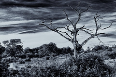 The bush in monochrome - Chobe, Botswana (L F Ramos-Reyes) Tags: africa bw tree birds clouds botswana chobe africanbush lionfrr mygearandme