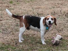 61 of 366 (NaDeanR) Tags: dog pet beagle animal australianshepherd