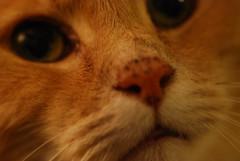 Day 147 Extreme close up (Wacka Quacker) Tags: macro cat fur nikon 365 catfur 366 105mmmacro sigma105mm d40x