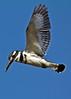 Pied Kingfisher (Ceryle rudis) (Douglas Caldwell) Tags: flight egypt top20nature piedkingfisher cerylerudis rivernile nilevalley