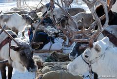 Reindeer and sleds are ready for a long winter journey (bolotbootur) Tags: travel winter snow cold weather reindeer russia deer siberia fareast sledge yakutia evens siberiarussia sakharepublic oymyakon ojmjakon yakutiya reindeersleddingwithevennomadsinoymyakon