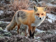 Red Fox (McDuck17) Tags: nature animal ngc nj npc fox redfox autofocus mygearandme mygearandmepremium mygearandmebronze mygearandmesilver mygearandmegold blinkagain