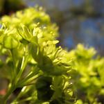 Maple Tree in Flower